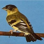 carduelis spinescens